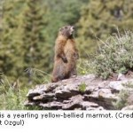 Investigation Reveals Robust Marmots Thriving On Climate Change