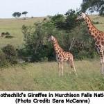 Rare Rothschild's Giraffe Listed as Endangered