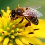 Risks to Bees from Insecticides Identified