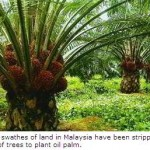 India's Edible Oil Imports Threaten Wildlife in Indonesia & Malaysia