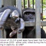 Illegal Trade Robs Wild of Almost 3000 Great Apes Annually