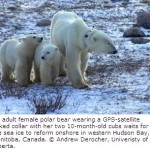 For Polar Bears, It's Survival of the Fattest