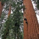Unprecedented Growth Surge in Redwoods, Sequoias despite Climate Change