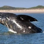 Minimizing Seismic Survey Impacts on Rare Whales