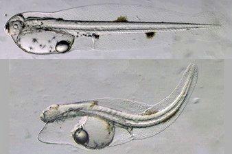 Yellowfin Tuna Larva