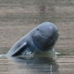 Dam Threatens Survival of Mekong Dolphins