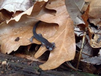 Gray-cheeked Salamander