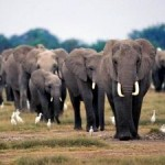 Organized Crime, Corruption and Militia Linked to Elephant Poaching and Ivory Trade