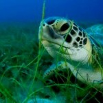 Future of Sea Turtles in a Warming World