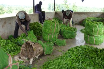 Workers at Tea Plantation, Uganda