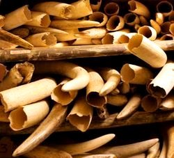 Illegal Wildlife Trade: Elephant Ivory