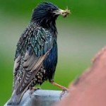Starlings, Swallows Disappear in Areas with High Neonicotinoids Levels