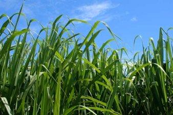 Sugar Cane Plantations. © WHRC