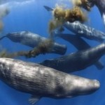 Whales as Marine Ecosystem Engineers