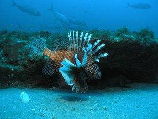 Invasive Species: Indo-Pacific Lionfish