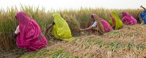 Rice Harvesting in India