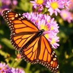 Monarch Butterfly a Species Our Children May Never See
