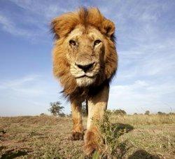 African Lion in Maasai Mara National Reserve, Kenya. © naturepl.com / Anup Shah / WWF-Canon