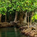 Full Economic Potential of Carbon-Rich Mangroves Remains Untapped