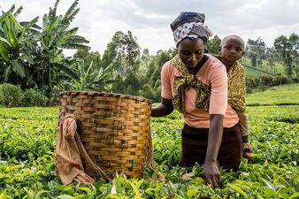Tea Pickers in Kenya